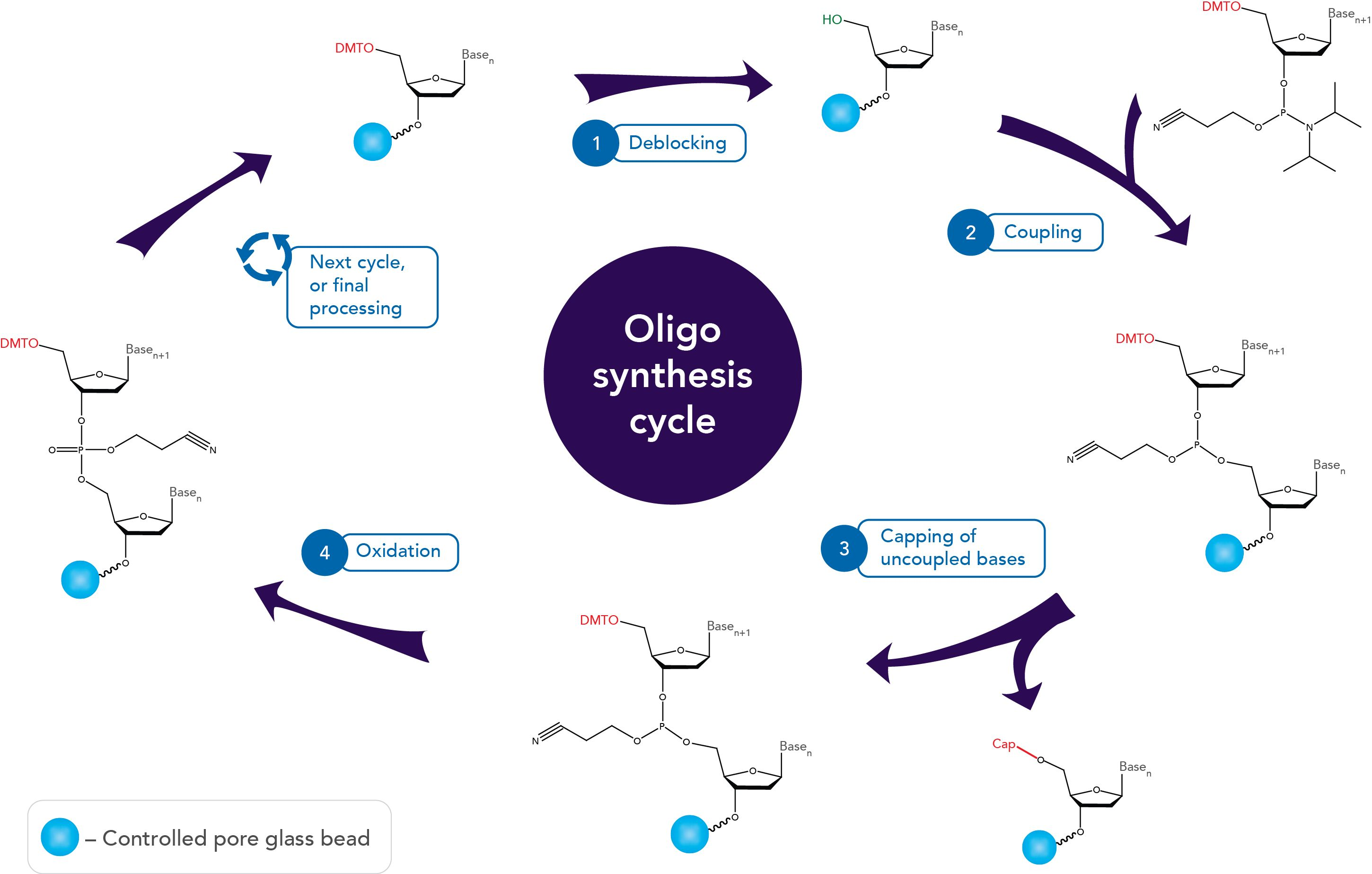 art84-CC-oligo syn-Fig2