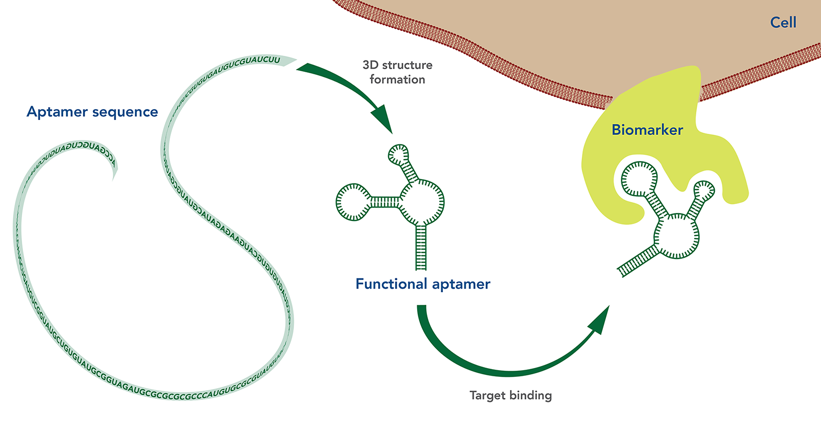 art99-CC-aptamers-Fig1
