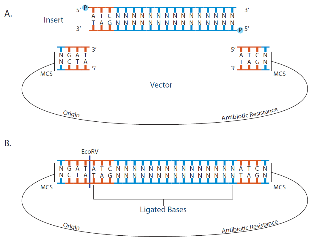 cloning steps using plasmid vector Cloning and sequencing of amilcp and from acropora millepora and rfp from discosoma striata in pttq18 plasmid vector this cloning.