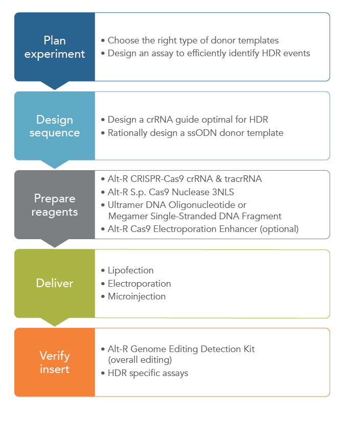 CRISPR-Cas9 mediated HDR: Tips for successful experimental design