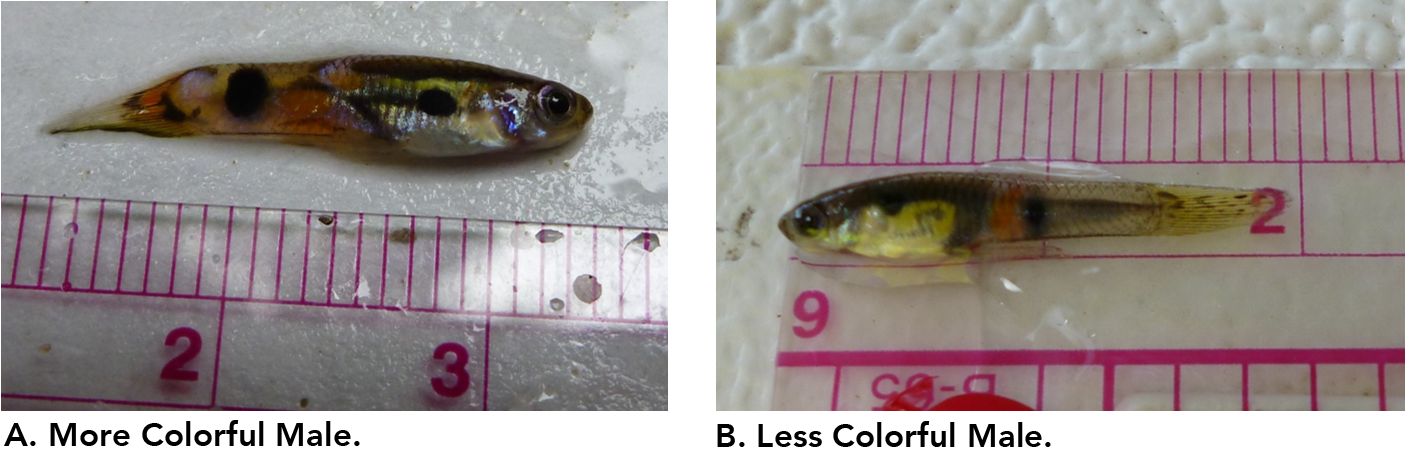 An examination of female mates preference in the trinidad guppy poecilia reticulata